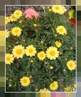 Piante fiorite fioreriamarzio for Margherita pianta